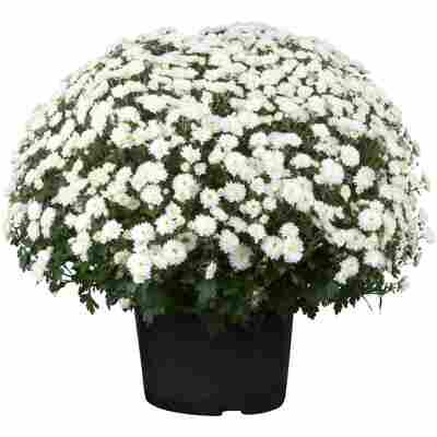 Chrysantheme 40 x weiss, Topf 19 cm