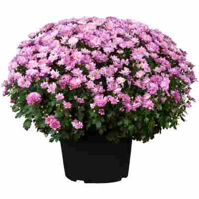 Chrysantheme 40 x lila, Topf 19 cm