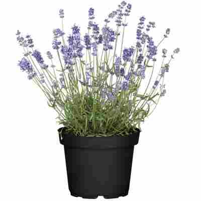 Lavendel 14 cm Topf