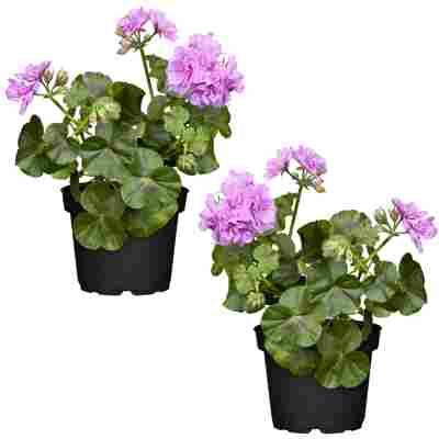 Hängende Geranie lila 12 cm Topf, 2er-Set