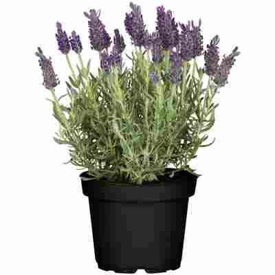 Schopflavendel 'Anouk Dark Purple' 12 cm Topf