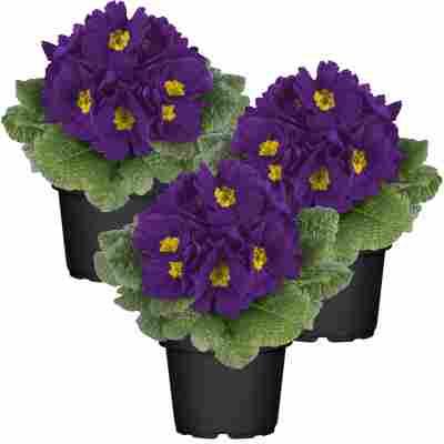Primel violett 10,5 cm Topf 3er-Set