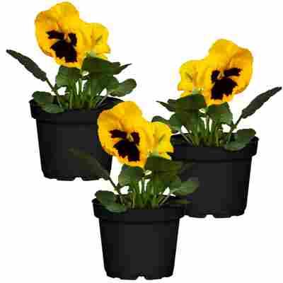 Stiefmütterchen gelb mit schwarzem Auge 9 cm Topf, 3er-Set