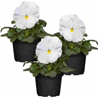 Stiefmütterchen weiß 9 cm Topf, 3er-Set