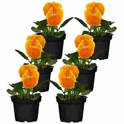Stiefmütterchen orange 9 cm Topf, 6er-Set