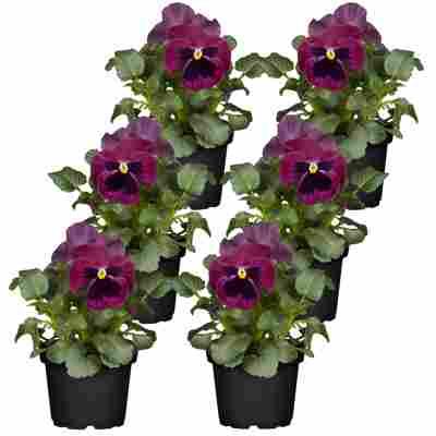 Stiefmütterchen violett 9 cm Topf, 6er-Set