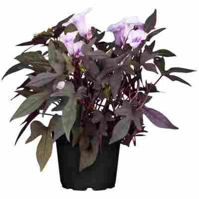 Schlingpflanze verschiedene einjährige Sorten 13 cm Topf