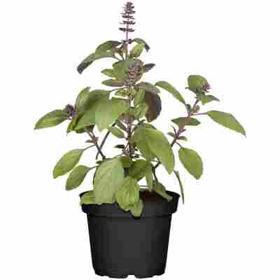 Naturtalent by toom® Bio-Blütenbasilikum 'Floral Spires Lavender ', 12 cm Topf, 2er-Set