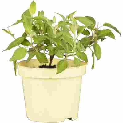 Naturtalent by toom® Bio-Ananas-Salbei 'Pino', 12 cm Topf, 2er-Set