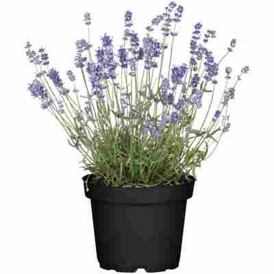 Lavendel 13 cm Topf