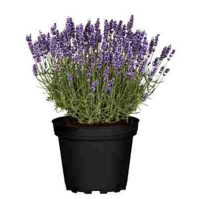 Lavendel 'Hidcote' 25 cm Topf