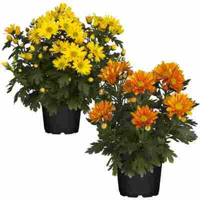 Bauernchrysantheme Orangetöne sortiert 12 cm Topf, 2er-Set
