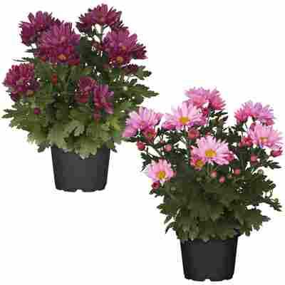 Bauernchrysantheme Pinktöne sortiert 12 cm Topf, 2er-Set