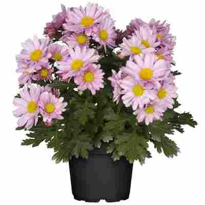 Chrysantheme rosa 10,5 cm Topf, 3er-Set