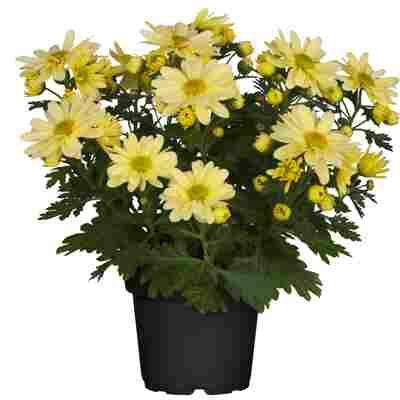 Chrysantheme gelb 10,5 cm Topf, 3er-Set