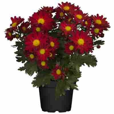 Chrysantheme bordeaux 10,5 cm Topf, 3er-Set