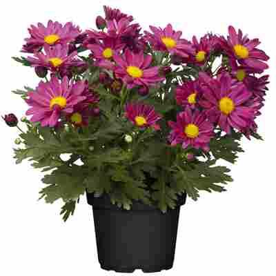 Chrysantheme violett 10,5 cm Topf, 3er-Set