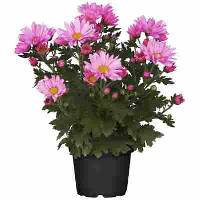 Chrysantheme pink 10,5 cm Topf, 3er-Set