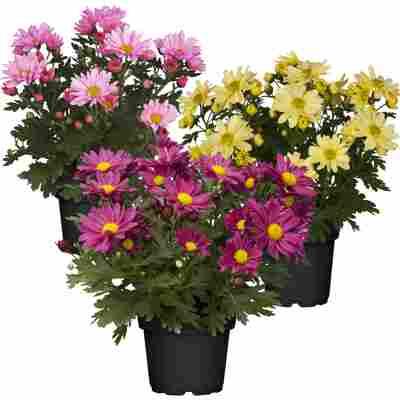 Chrysantheme Farbmix sortiert 10,5 cm Topf, 3er Set