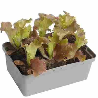 Salat-Mix 6er-Schale