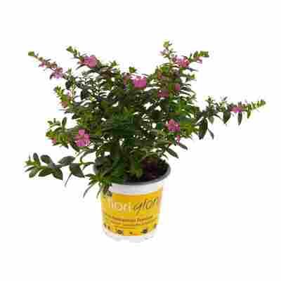 Köcherblume 'FloriGlory' 13 cm Topf