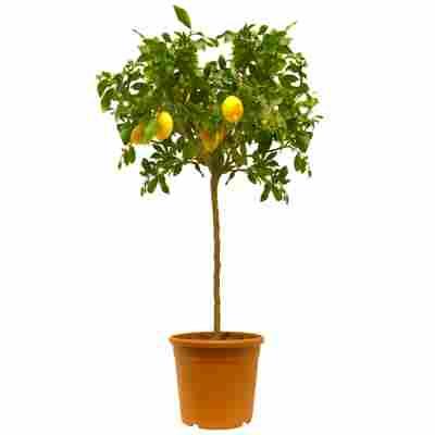 Zitronen-Stamm 26 cmTopf