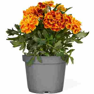 Studentenblume verschiedene Farben 10,5 cm Topf