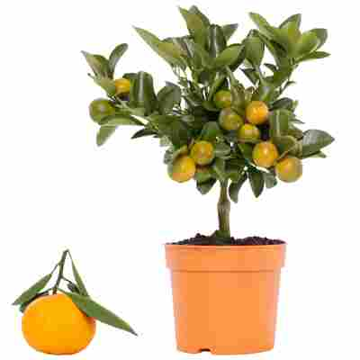Calamondin-Orange 12 cm Topf