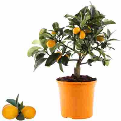 Kumquat 12 cm Topf