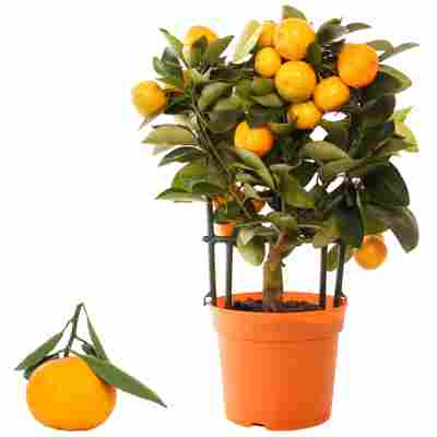 Calamondin-Orange am Spalier 12 cm Topf