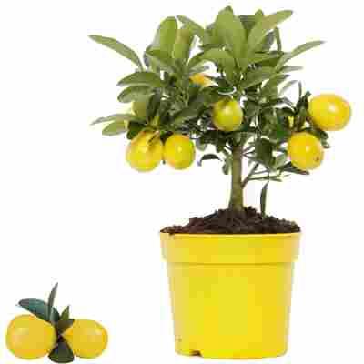 Limette 'Limequat' 12 cm Topf