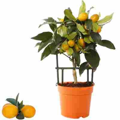 Kumquat am Spalier 12 cm Topf