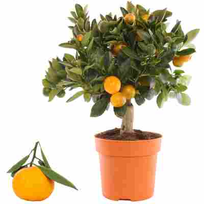 Calamondin-Orange 14 cm Topf