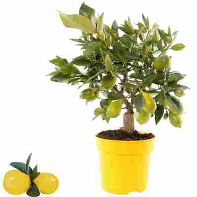 Limette 'Limequat' 14 cm Topf
