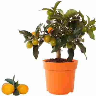 Kumquat 14 cm Topf