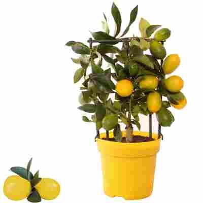 Limette 'Limequat' am Gitter 15 cm Topf