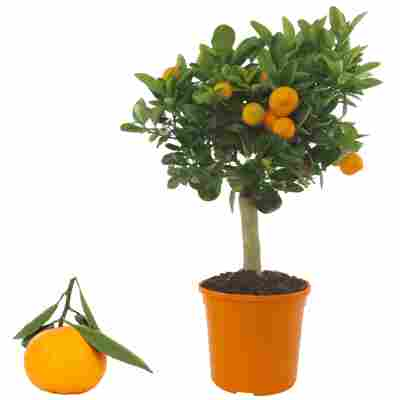 Calamondin-Orange 15 cm Topf