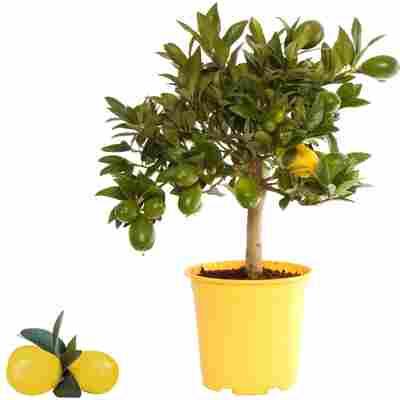 Limette 'Limequat' 15 cm Topf