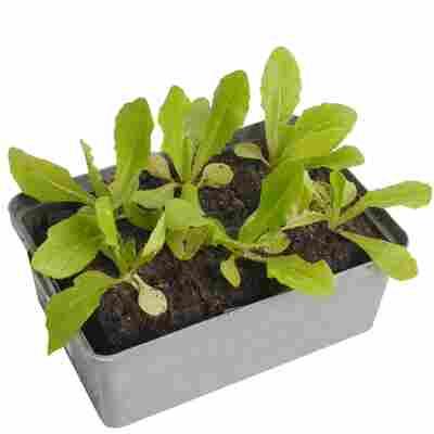 Kopfsalat grün 6er-Schale