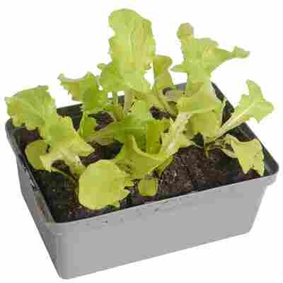 Eichenlaubsalat grün 6er-Schale