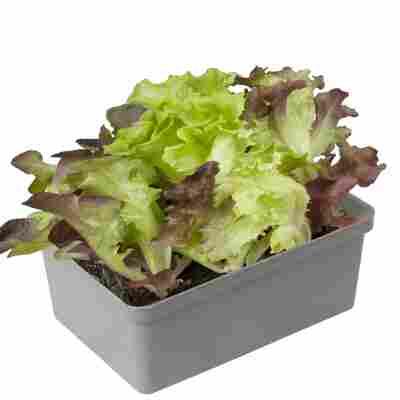 Babyleaf-Salat 6er-Schale