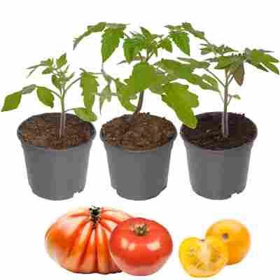 Tomaten-Mix 'Nr.2' 9 cm Topf, 3er-Set