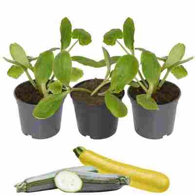 Zucchini-Mix grün, gelb 9 cm Topf, 3er-Set