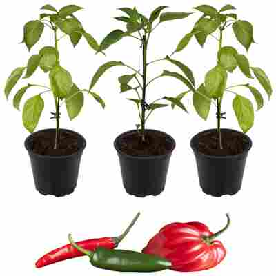 Peperoni Drachenfeuer-Mix 'Fireflame', 'Samira® Shiny' & 'Cresto® Red' 11 cm Topf, 3er-Set