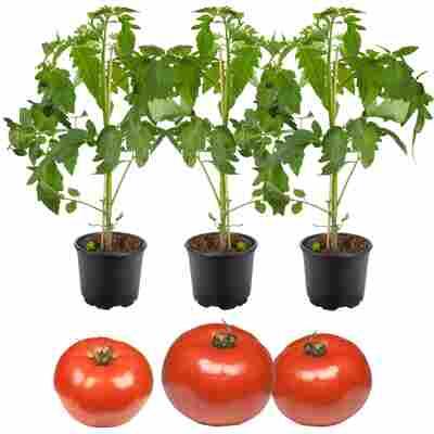 Freiland-Tomate 'Phantasia' & 'Philovita' 11 cm Topf, 3er-Set