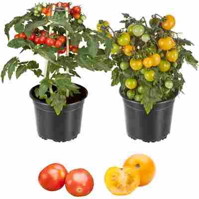 Zwerg-Tomate 'Primabell®' & 'Primagold®' 13 cm Topf, 2er-Set