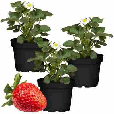Naturtalent by toom® Bio Erdbeere 'Polka' 11 cm Topf, 3er-Set