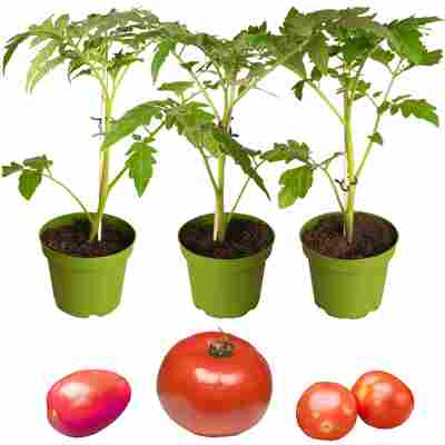 Naturtalent by toom® Bio-Tomate 'St. Pierre', 'Trixi' & 'Henk' 10,5 cm Topf, 3er-Set