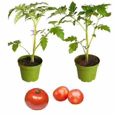 Naturtalent by toom® Bio-Tomate veredelt 13 cm Topf, 3er-Set
