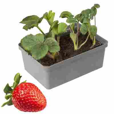 Naturtalent by toom® Bio Erdbeere 'Polka' 6er-Tray